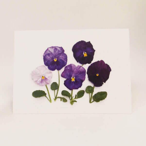 Purple pansies 1000 x 1000 pixels