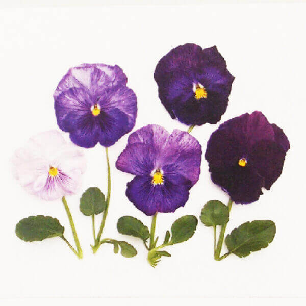 Purple pansies closeup 1000 x 1000 pixels